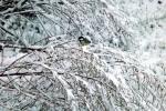 6877-verschneites-gebuesch-meise