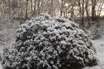 6883-verschneiter-rhododendron