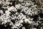 6893-verschneites-gebuesch