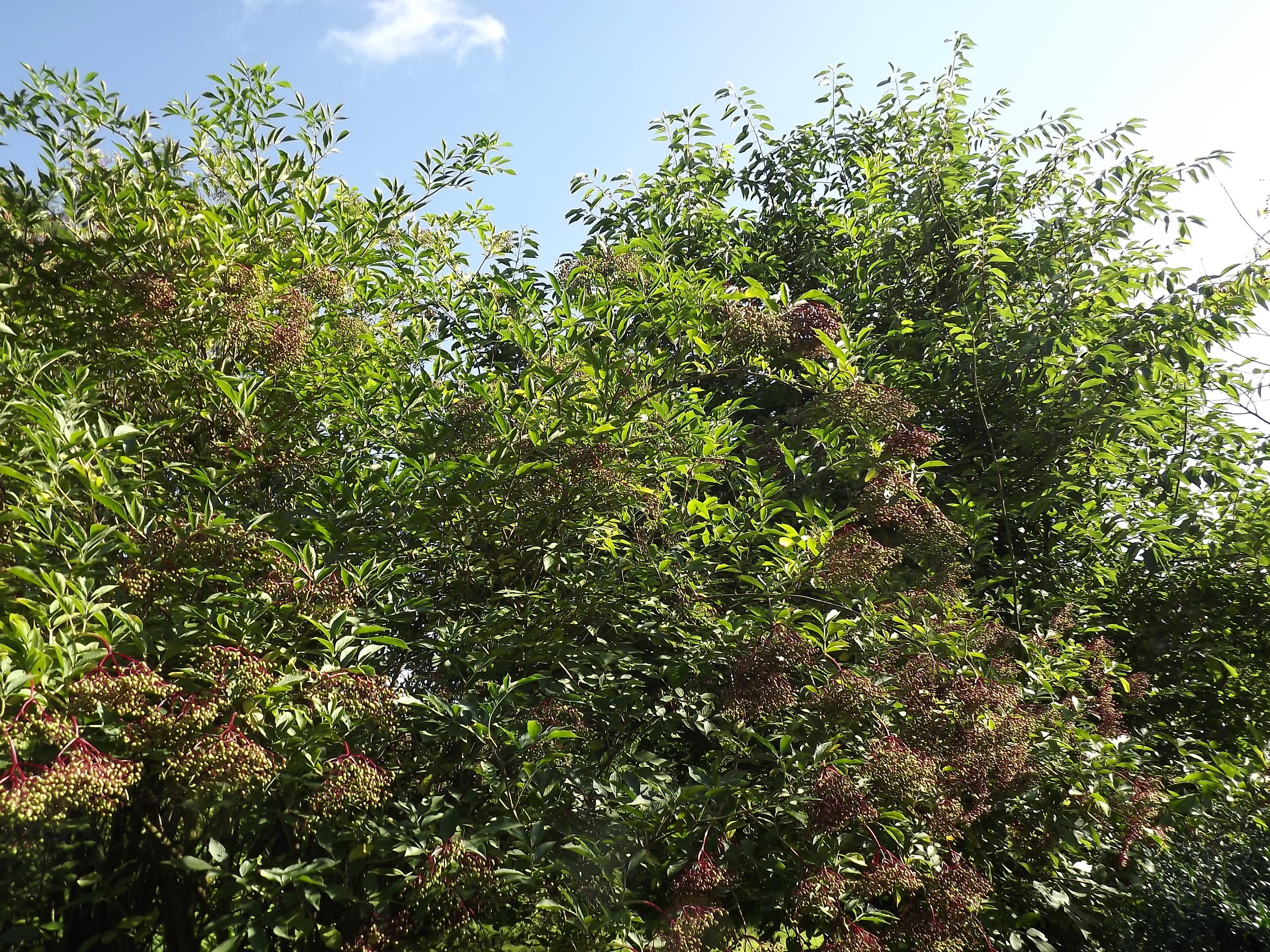 6381-hollunder-busch