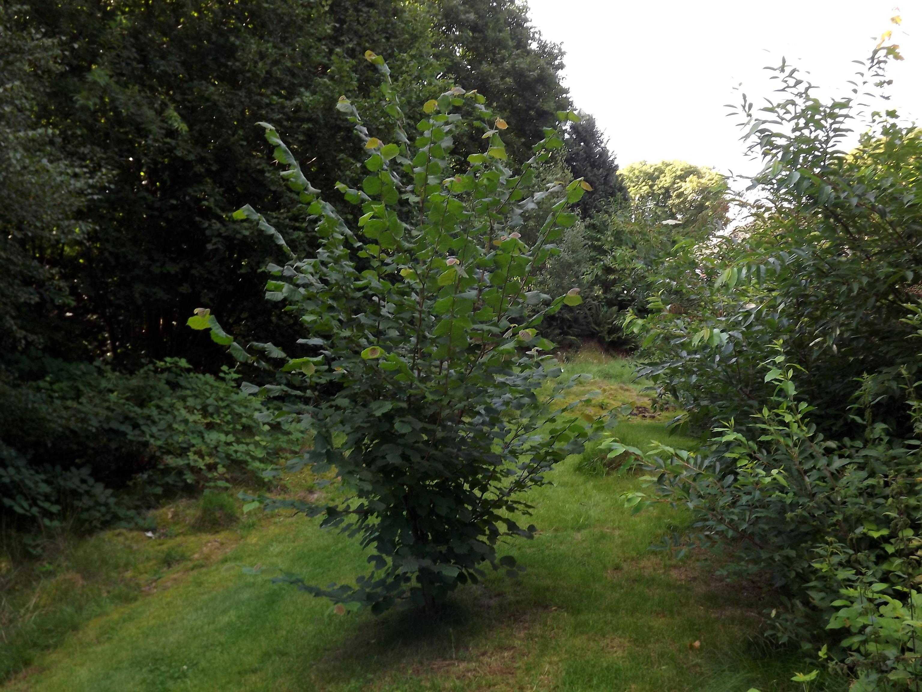 6401-kleiner-nussbaum