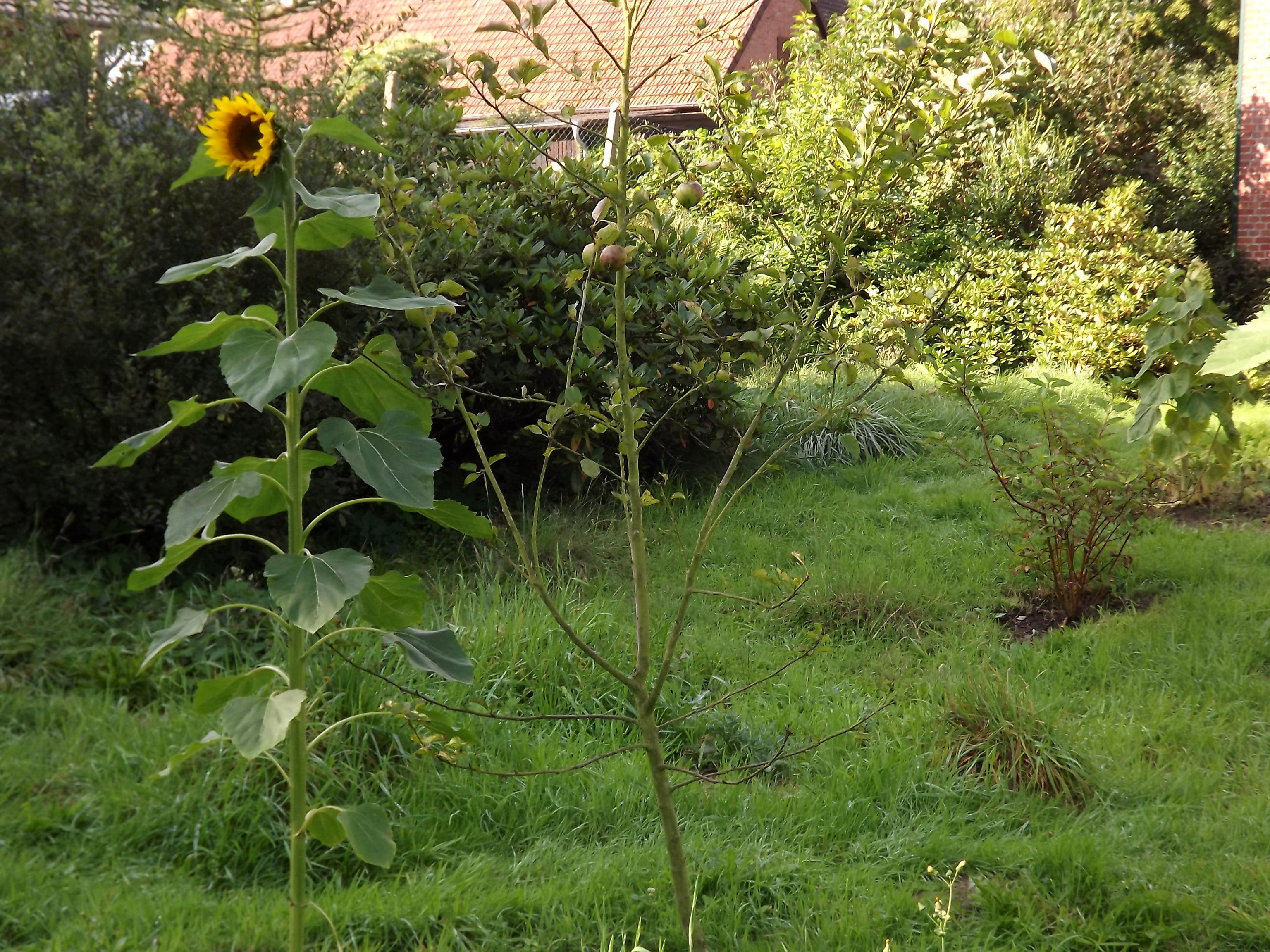 6436-wiese-apfelbaum-sonnenblume