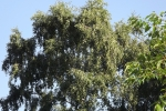 6378-birke-gruen
