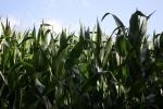 6388-mais-pflanzen