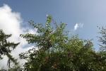 6461-traubenkirsche-himmel