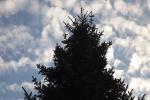 6467-tanne-wolken-himmel