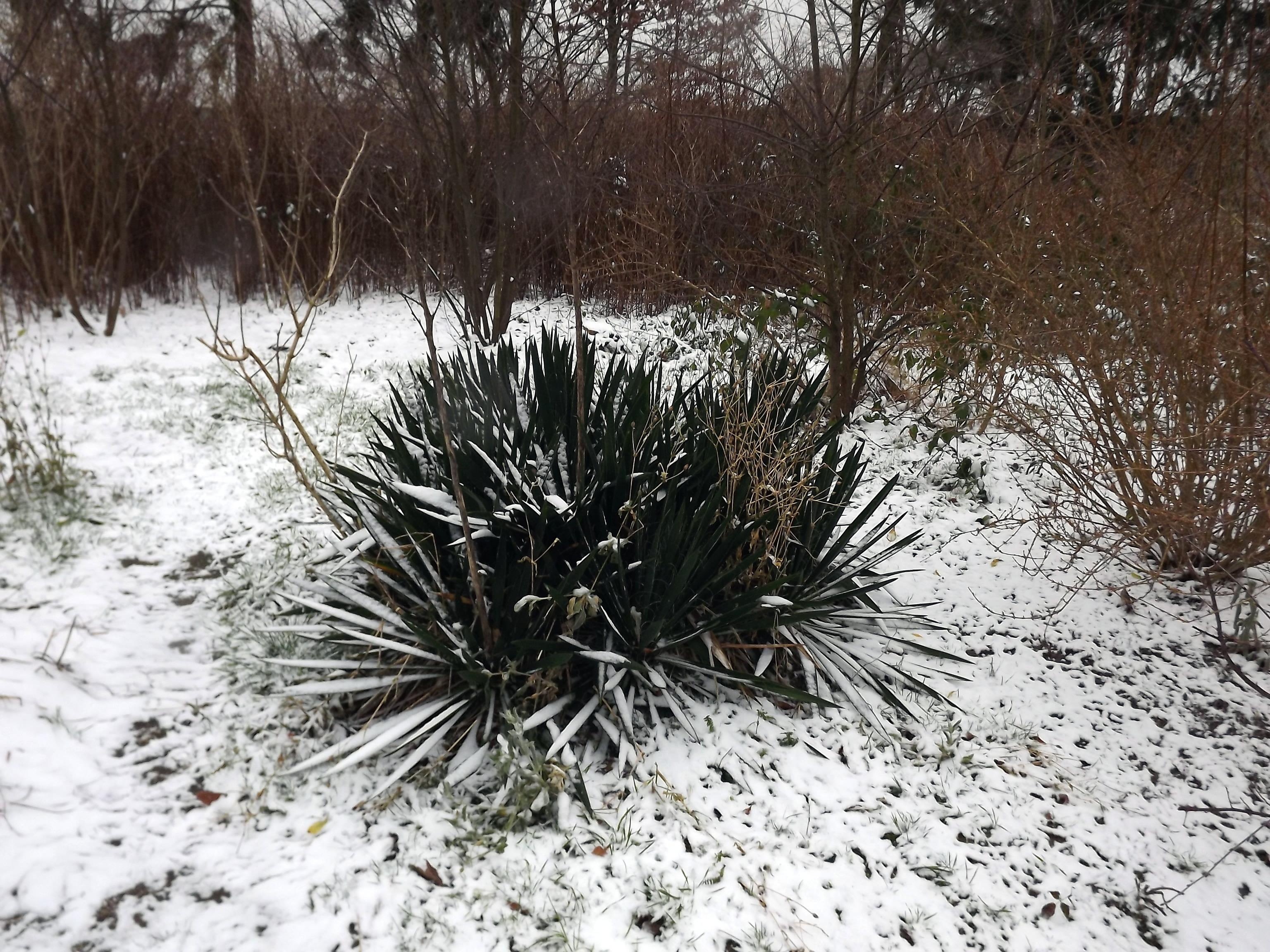 palmlillie-im-schnee