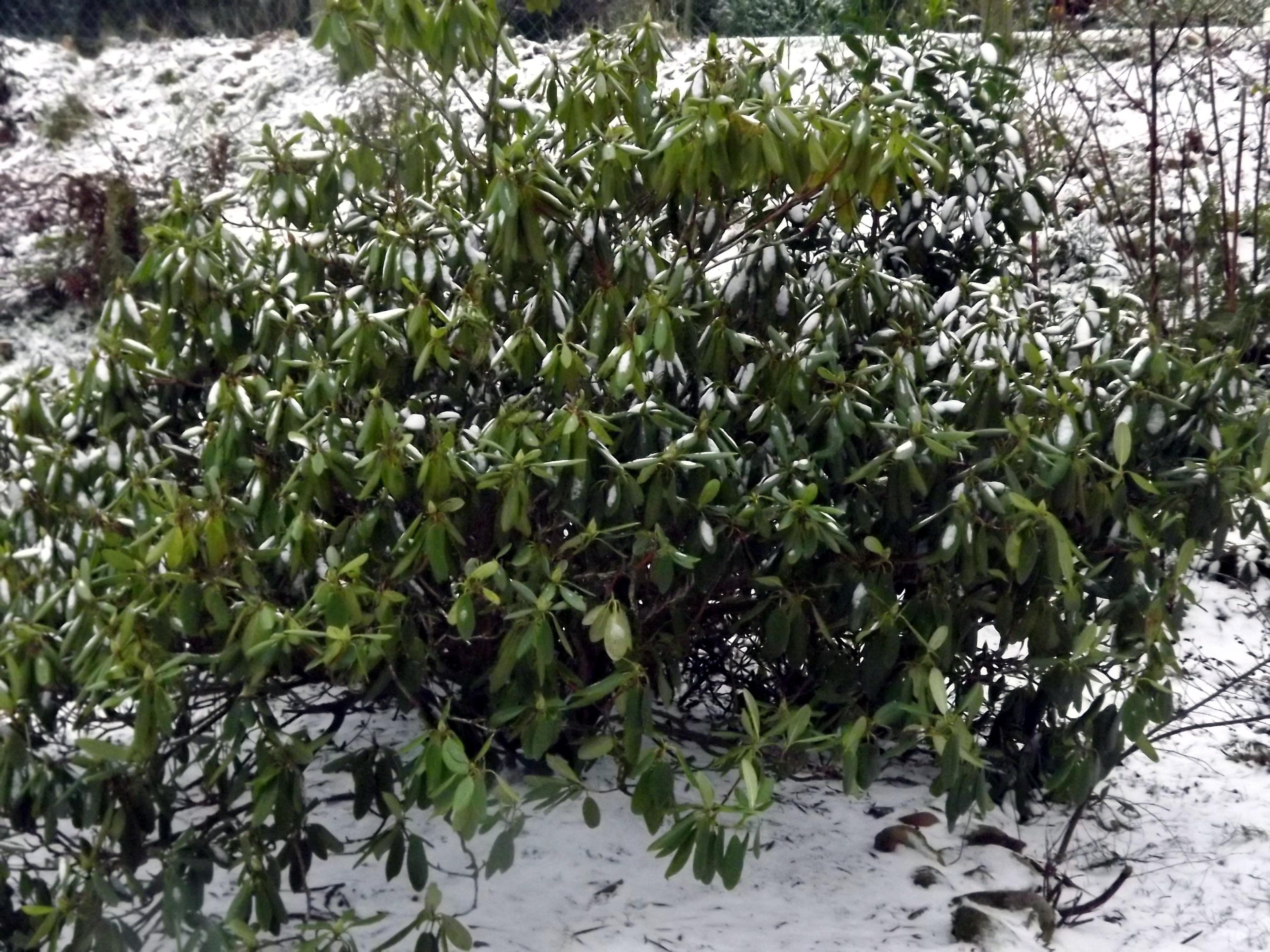 rhododendron-im-schnee