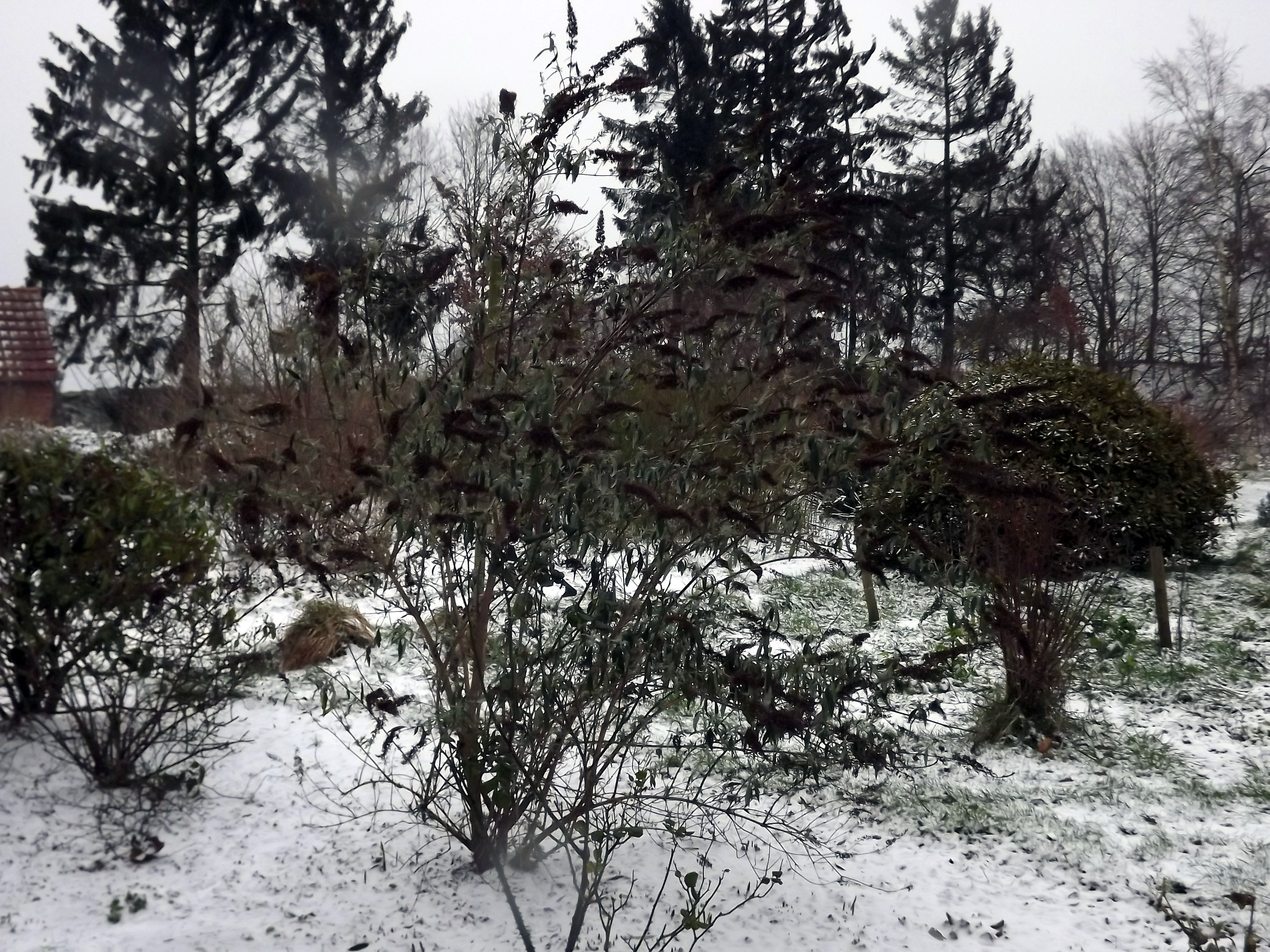 schmetterlingsflieder-im-schnee