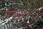 bodendecker-im-schnee
