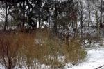 gebuesch-im-schnee