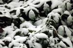 verschneite-blaetter