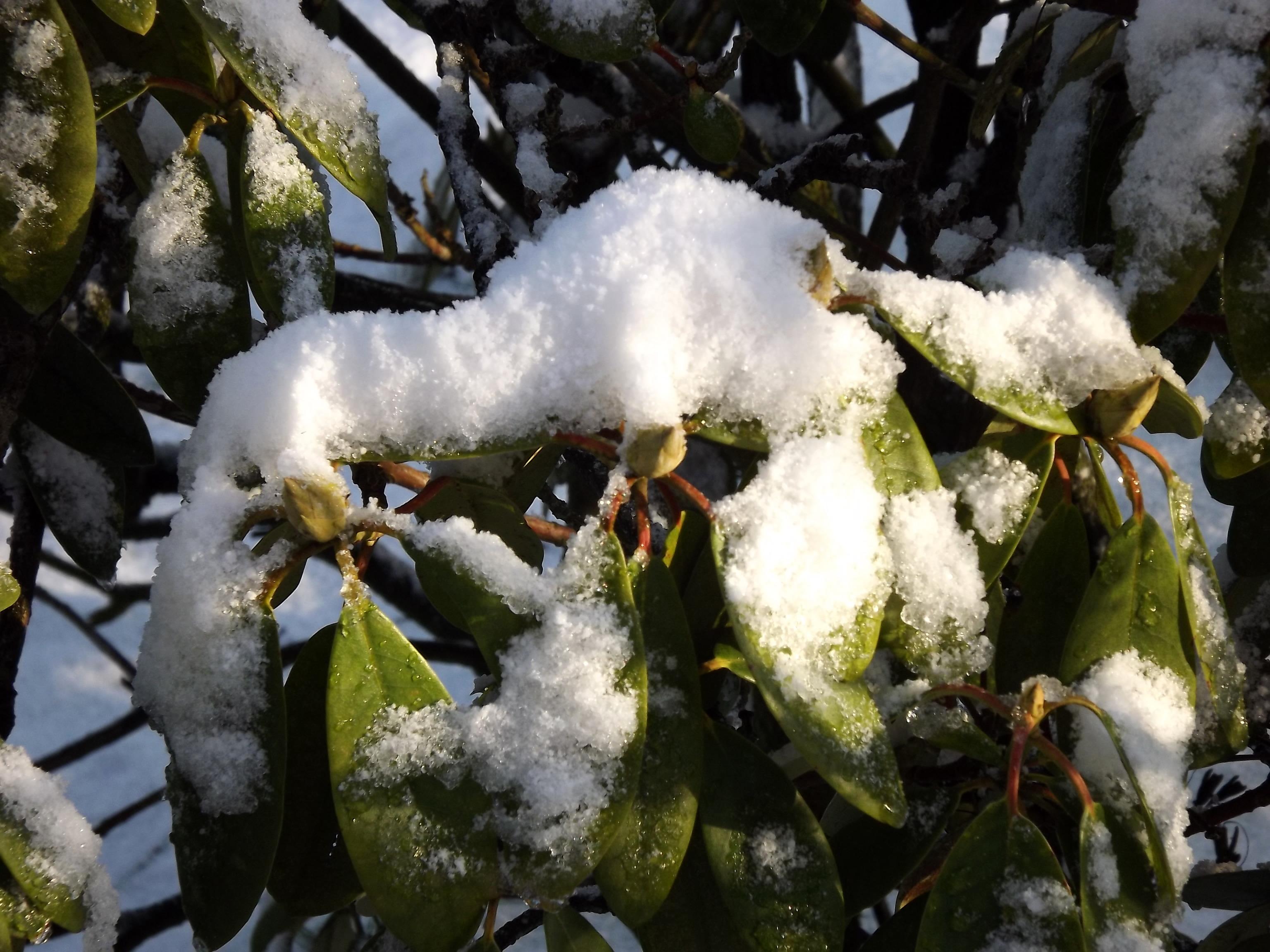 5740-schnee-auf-gruenen-blaettern