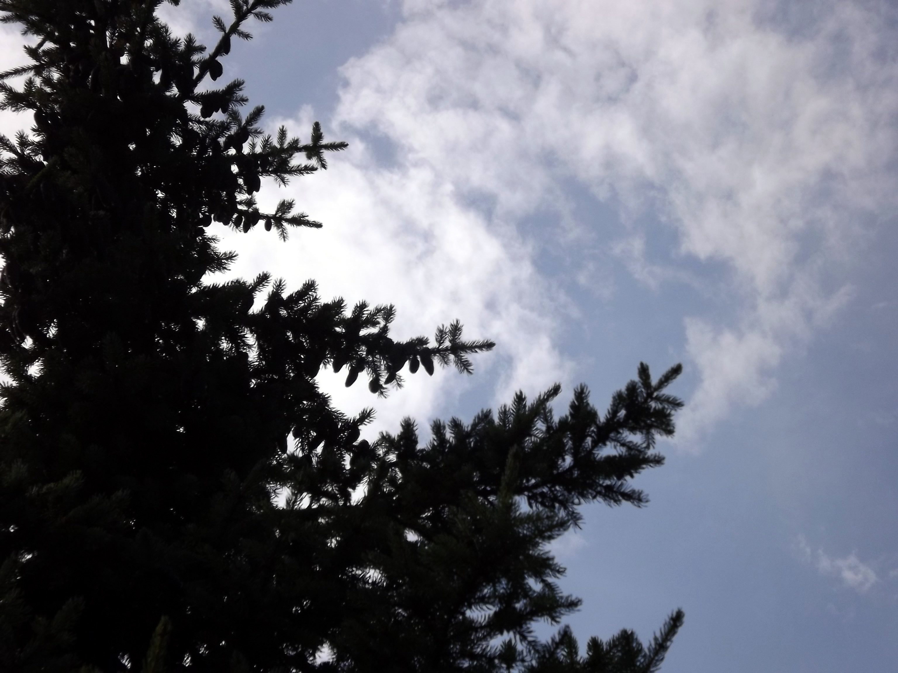 wolke-hinter-nadelbaum