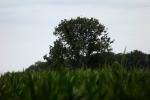 5227-gruenes-getreide