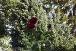 5435-rose